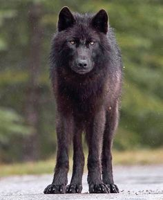 """beautiful-wildlife: """"Black Wolf by © caipriestleyphotography """""""