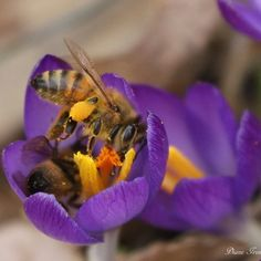 """""""sharing bees by Diane Irwin"""" Weather Network, Raven, Indigo, Twitter, Bees, Animals, Spring, Crow, Animales"""