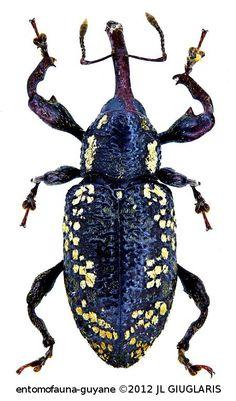 Heilipodus flavofasciatus  Rheinheimer, 2014                                                                                                                                                                                 Plus