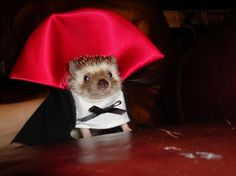 Count Hedgehog mesmerizing his next victim with his hypnotic stare...