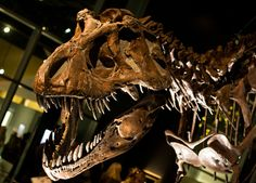 Real Dinosaur Pictures Tyrannosaurus Rex | Legendary Dinosaur King Didn't Survive on Fast Food - Wired Science