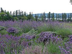 Lockwood Lavender Farm: Lockwood Lavender Farm Photos
