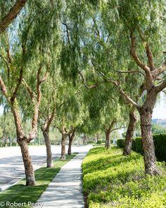 Privacy Plants, Privacy Landscaping, Dojo, California Native Landscape, Pepper Tree, Garden Planner, Evergreen Shrubs, House Front, Land Scape