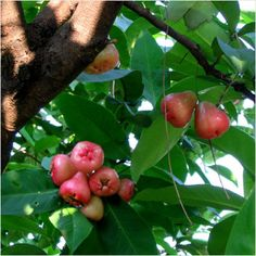 Buy Fruit Plants Online India