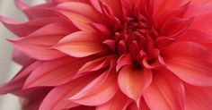 Just Pinned to Flowers: beautiful coral Dahlia might use this image for a watercolor painting good to use for a color study in a way http://ift.tt/2pJNBWm