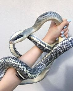 Is that a cool looking snake or what? Rat Snake, Corn Snake, Pretty Snakes, Beautiful Snakes, Animals Of The World, Animals And Pets, Cute Animals, Cute Reptiles, Reptiles And Amphibians