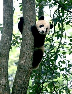 398) Pandas weren't discovered by the Western world until 1869, when the French missionary Armand David received a skin from a hunter.