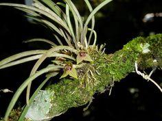 Kefersteinia maculosa