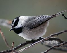 Mountain Chickadees are being reported in and around Portland, Oregon this fall... - © katnor1 - http://www.flickr.com/photos/62551600@N00/3252063140/