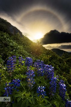 The Sun dogs and Lupines (Alaska) by Carlos Rojas on 500px
