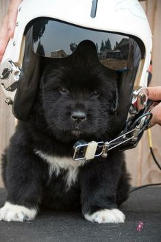 Notta Bear Newfoundlands ...Future Pilot in Training #NewfoundlandDog