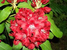 Thank you for taking a look at one of our several hundred Hybrid Rhododendrons we have for sale on Etsy and our website! At RhododendronsDirect.com, all we do is Rhododendrons!     Product Description    Bloom Color:  Red    Bloom Season: Mid Season    Plant Height(potential in 10 years): Five Feet    Hardy to:  -10      Container Size/Age:  Two Gallon Plant -  These rhododendrons are typically rooting into a two gallon container or have spent one year as a field grown plant. They can range…