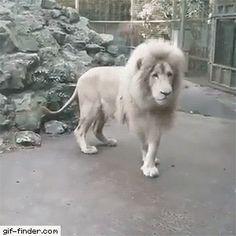 Lion Afraid Of Bubbles