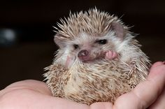 Prickly business... Hedgehogs have about 5,000 spines. Each spine lasts about a year and then drops out, allowing a replacement to grow.