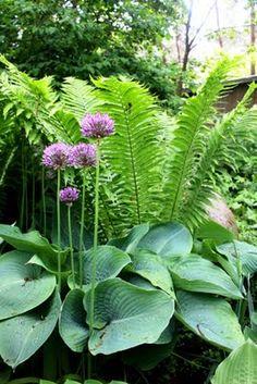 Mållans Garden: Fern, Hosta and Allium.  Skogstorpet Trädgårdsdesign [Gardendesign - Landscaping]: