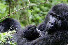 #Uganda Mommy and baby gorilla @DirkDierickx