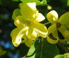 L' ylang ylang, dalla dolce profumazione, coltivato, principalmente, nell'arcipelago delle Comore.