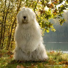 "Our first dog was an Old English Sheepdog, we gave him two names ""Bobbs"" because of his bobtail and ""Perro"" because it's Spanish for dog."