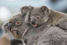 Queensland Koala with Joey | by San Diego Zoo Global