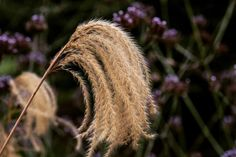 The Seedy Side Of Life Miscanthus at Kew this autumn. I feel like this after an afternoon at the hairdresser, but it unlike these seed heads it only lasts a day. Grasses add essential interest to a winter garden, but look best planted in a large mass...
