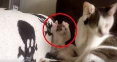 Il cucciolo di gatto imita i movimenti della madre. Il risultato è irresistibile