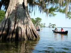 At Lake Fausse Pointe near St. Martinville, Louisiana, canoeists who follow the shoreline of Lake Fausse will find themselves drifting through some of the very few uncut two-thousand-year-old cypress trees remaining in the entire Atchafalaya Basin.  Photo courtesy of Pack & Paddle.