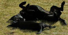 labradorinnoutajat rentoutuvat