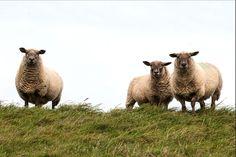 Natomiast mamy na myśli lokalizację, to odbywa się on głównie w wysokogórskich halach, względnie na terenach wypasowych, które należą do wielu właścicieli (nawet {kilkudziesięciu|kilkuset)). Owce mają ogromne możliwości wypasania, dlatego przekłada się to na lepszą klasę mleka. Smakują one zioła, na które mają ochotę. Nie można zapomnieć, że ekologiczny wypas owiec nie może być utożsamiany tylko z uzyskiwaniem mleka na sery, lecz również z zachowaniem dziedzictwa kulturowego.