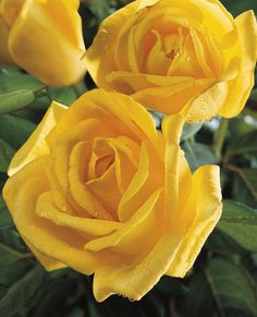 Radiant Perfume (Henry Fonda) - This stunning deep yellow garden rose exudes a strong, citrus perfume that will stop you in your tracks. It is a looker in the landscape, boasting graceful form and a richly golden color. Great for cut flowers, too.