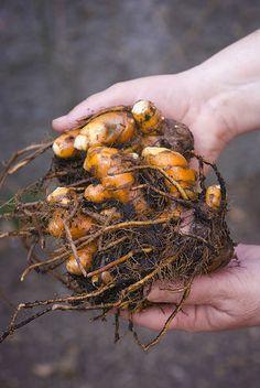 Como plantar cúrcuma, o açafrão-da-terra