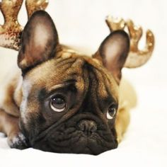 Excuse me Santa, I no wanna be a reindeer no more... Mr. French, the French Bulldog from Estonia