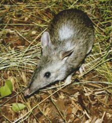 Our friends at Earthwatch Australia are working to help reduce roadkill rates for bandicoots and other animals.