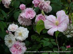 Heritage Roses at Ca' delle Rose www.cadellerose.org