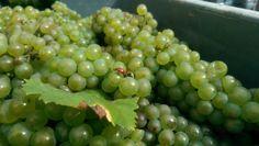 Nos amies les coccinelles toujours présentes aux vendanges. Ladybirds love the delicious juice of Champagne grapes. Always there during harvest season
