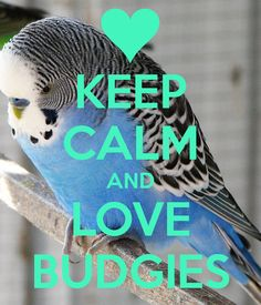 'KEEP CALM AND LOVE BUDGIES' Poster