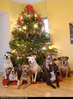 Pitbulls Pose For Christmas Pic - a place to love dogs