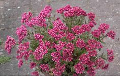 "Crassula schmidtii - ""desert ruby"" - on LA County's list of approved drought tolerant plants."