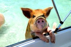 The Exumas: Island Hopping, Pigs, & Iguanas