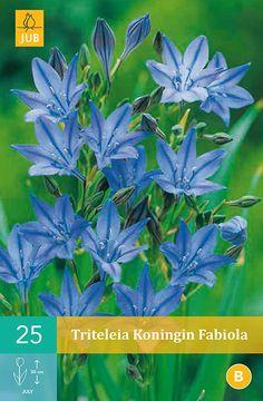 Rôzne druhy : Tritelria Koningin Fabiola - 25 ks