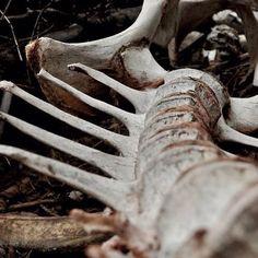 photography dead my photography skeleton bones spine macro utah hip bones Dragging a Dead Deer Up a Hill ephraim deer spine Ruki Mukami, Hawke Dragon Age, Maleficarum, The Ancient Magus, Fotografia Macro, Hannibal Lecter, Necromancer, After Life, Skull And Bones
