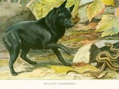 This animal painting marked by Louis Agassiz #Fuertes is taken from The Book of Dogs published in 1919 by The  National Geographic Society, Washington D.C., U.S.A. Louis Aga... #fuertes