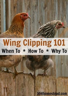 Wing Clipping 101 - When to do it. The 104 Homestead chickens poultry wings Raising Backyard Chickens, Keeping Chickens, Backyard Farming, Pet Chickens, Urban Chickens, Backyard Poultry, Backyard Patio, Chicken Life, Chicken Runs