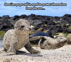 Little Sea Lion Covered In Sand *aawwww*