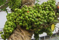 cây sung - Google'da Ara