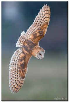 """Dive! Dive! Dive!  by Conrad Tan. """"Full Frame dive shot! I was almost too close!"""" Amazing  barn owl"""