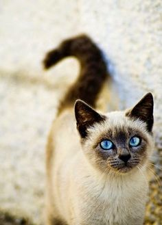 This is one of the oldest domestic cat breeds that also happens to live the longest, generally 15-20 years of age.Siamese cats make wonderful family companions because they are playful and affectionate and get along well with children.