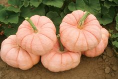 I actually bought pink pumpkins this year from a farm that grows them in Modesto,Ca. It's the Pink Pumpkin Foundation. They are Pink Porcelain Pumpkins. Proceeds from each pumpkin sold go to breast cancer research.