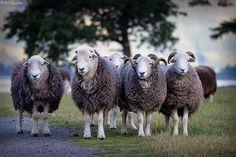 Herdwicks   Flickr - Photo Sharing!