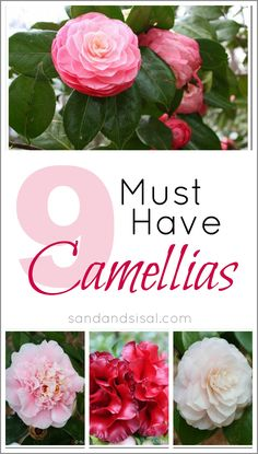 9 Must Have Camellias by @K D Eustaquio Wilson -Sand & Sisal.  I think I am going to put camellias in my big footed pots on the front porch this yr.  I prefer white.  I did this yrs ago and they did great on a porch without full sun.