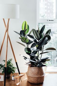 Easy care indoor plants, yucca tree, fiddle leaf fig, garden trees, house p Best Indoor Trees, Indoor Tree Plants, Easy Care Indoor Plants, Trees To Plant, Hanging Plants, Yucca Plant Indoor, Indoor Fruit Trees, Bonsai Trees, Indoor Gardening